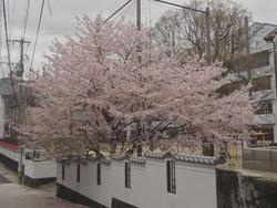 浜町・桜03