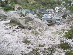 芒塚の桜01-5