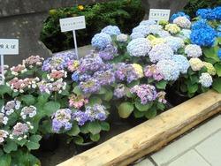 紫陽花まつり02-6