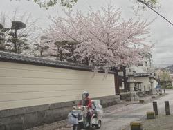 浜町・桜05