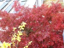 庭の紅葉01