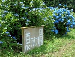 松里町あじさい園02-2