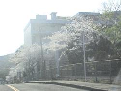 警察学校の桜01