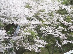 芒塚の桜01-3