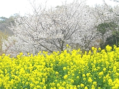 桜・長与01-3
