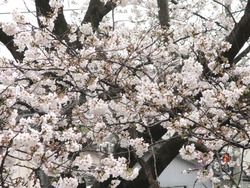 住吉の桜01-4
