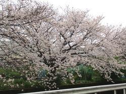 住吉の桜01-3