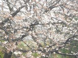 桜02-4