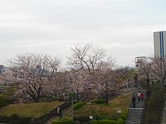 桜・原爆公園02