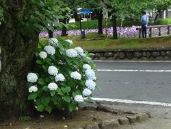 花菖蒲まつり01