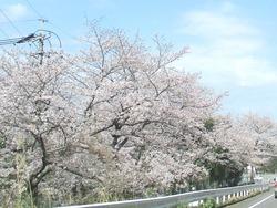 三浦海岸通りの桜