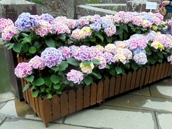 紫陽花まつり02-3