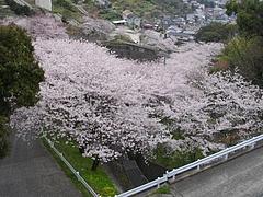 桜・芒塚06