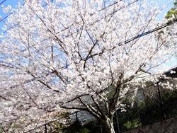 近所の桜01-2