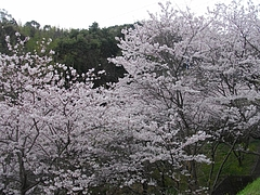 桜・芒塚05