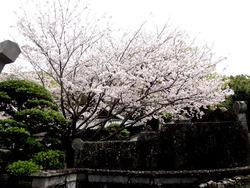 浜町・桜04-3
