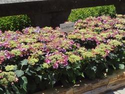 紫陽花まつり01-5