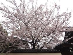 浜町・桜05-2