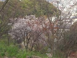 桜04-3