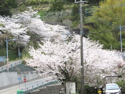 芒塚の桜01-2