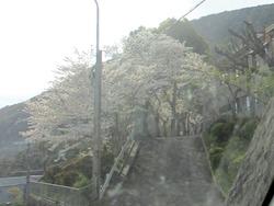 警察学校の桜01-2