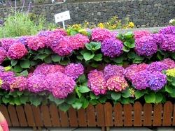 紫陽花まつり03-2