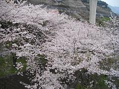 桜・芒塚03