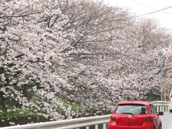住吉の桜01-5