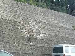 桜0318・03-5