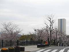 桜・原爆公園01