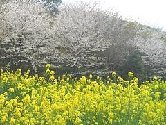 桜・長与01-2