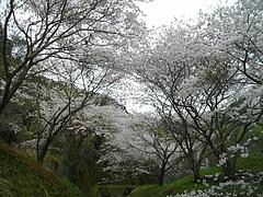 桜・芒塚02