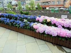 紫陽花まつり03-4