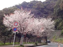 桜0328