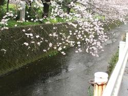 住吉の桜01-6