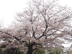 浜町・桜02-3