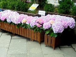 紫陽花まつり02-2