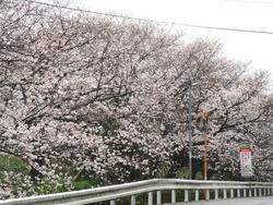 住吉の桜01-7