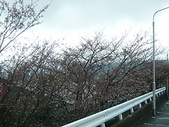 桜0318・01-3
