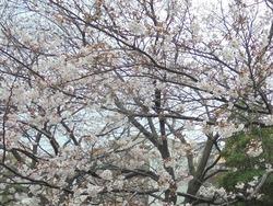 桜02-3