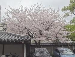 浜町・桜05-3
