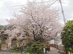 浜町・桜01-3
