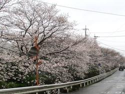 住吉の桜01-2