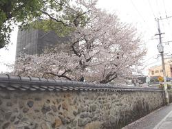 浜町・桜03-2