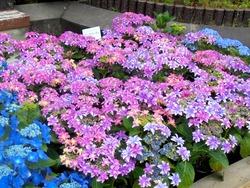 紫陽花まつり03-3