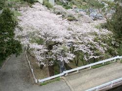 芒塚の桜01-4