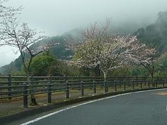 桜0318・01-2
