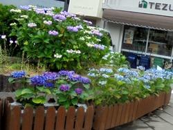 紫陽花まつり02-4