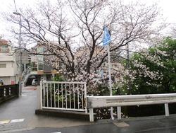 住吉の桜01