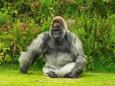 gorilla-1099264_1280